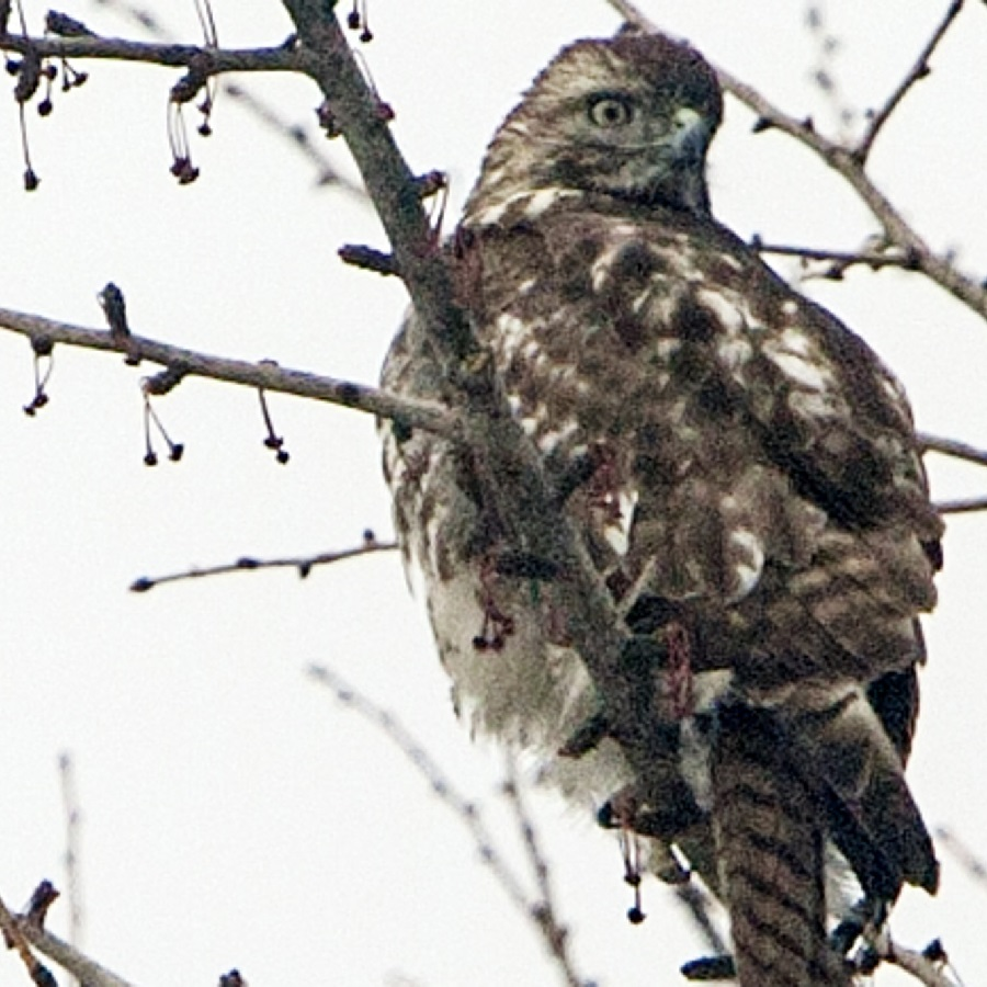 Another birding hotspot to see hawks is the victoia Valley Orchard, in Shoreview.
