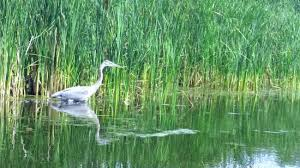 Egrets and blue heron are also a common to see as you paddle along.
