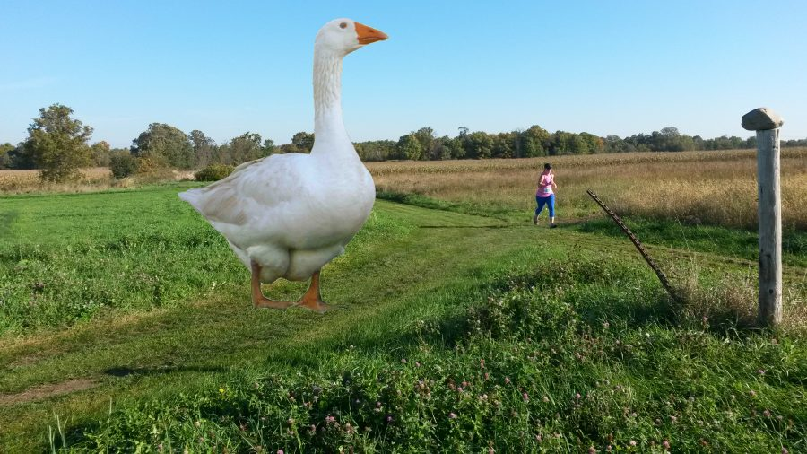 The largest goose I have ever seen