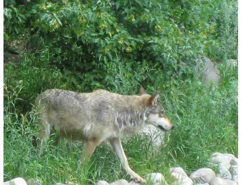 ca-wolf